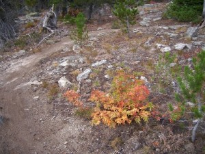 Beautiful red colored bush on Rossland, BC's Seven Summits Trail in September
